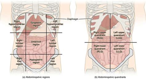 All Sections Of by Abdominal Epigastric Region After