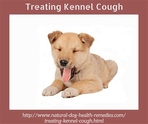 pug cough remedy treating kennel cough in dogs naturally