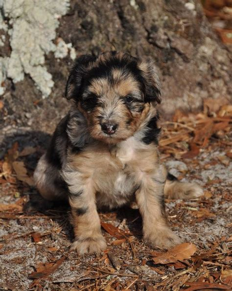 aussiedoodle indiana aussiedoodle favorite puppies