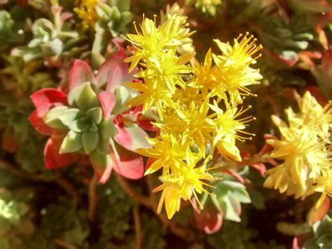 pianta grassa con fiori pianta grassa con fiori gialli stratfordseattle