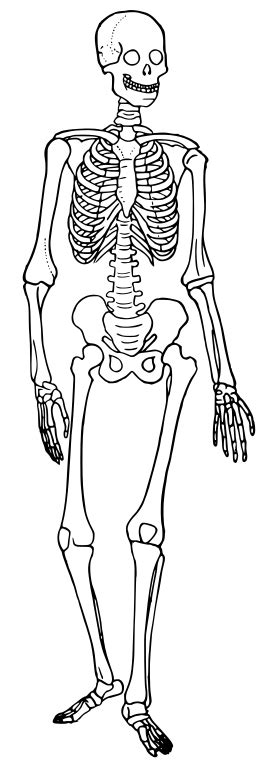 filehuman skeleton diagram tracesvg wikipedia