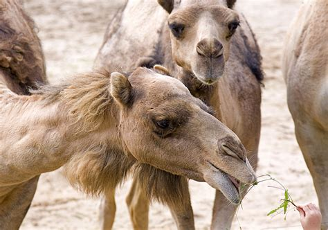 Camel Predator Safty adventure travel in africa the travel enthusiast the