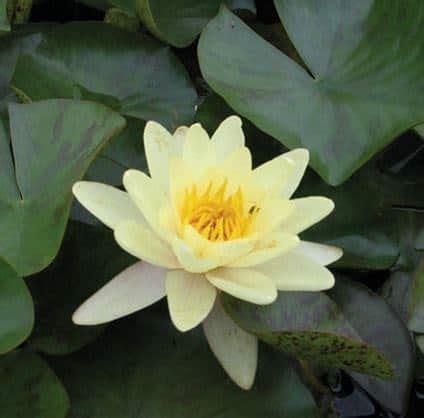 Beli Bibit Bunga Teratai jual tanaman teratai chromatella kuning bibit