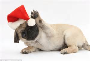 pug santa hat photographer captures pets dress up with a santa hat daily