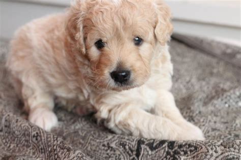 goldendoodle puppy nyc 96 best images about goldendoodle miscellaneous on