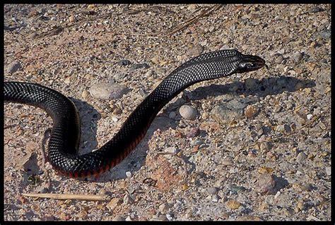 bellied black snake flickr photo
