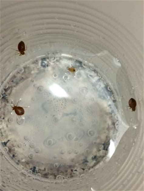 how are bed bugs created bed bugs we caught off linens on bed to show manager
