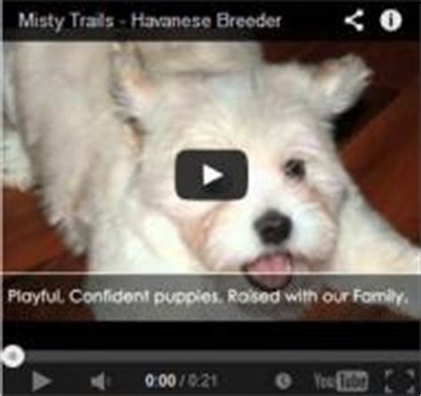 havanese breeders bc elite havanese breeder has puppies for sale on vancouver island in