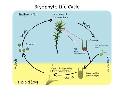 liverwort cycle diagram the gallery for gt liverworts diagram