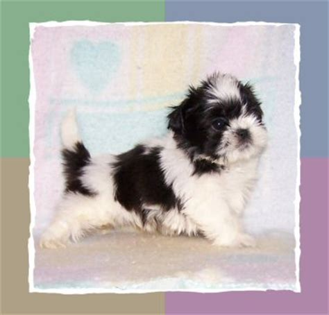 shih tzu puppies for sale in tucson az shih tzu breeder shih tzu puppies for sale bells az shih tzu 2015 personal