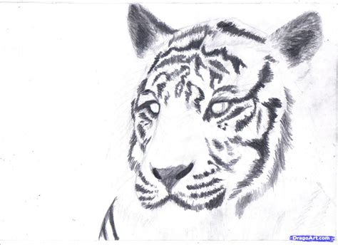 painting pictures drawing drawing pictures of tigers how to draw a tiger realistic