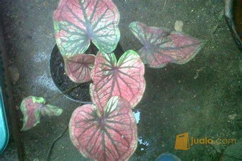 Keladi Hias Thailand 1 berbagai jenis keladi hias serpong jualo
