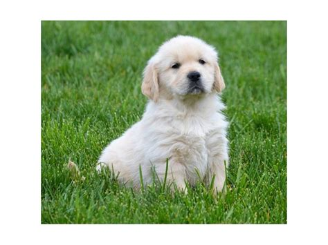 golden retriever puppies for sale wisconsin american golden retriever puppies for sale in wisconsin photo