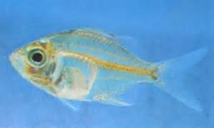 aquarium fishes: indian glass fish information