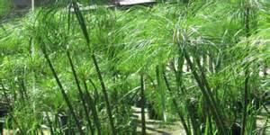 Images Of Plant Diseases - greening of rsenr giant papyrus cyperus giganteus