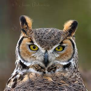 Call Of The Barn Owl Great Horned Owl All About Owl
