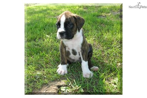 boxer puppies oklahoma boxer puppy for sale near tulsa oklahoma 06ffd63c 3db1