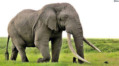 imagenes animales feroces elefante