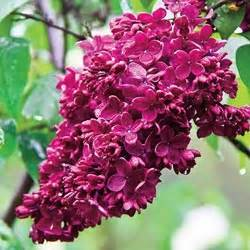 red french hybrid lilac michigan bulb