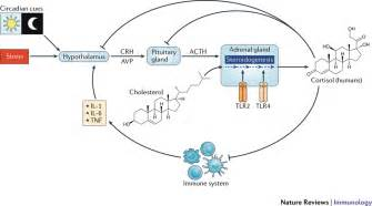 Glucocorticoids Also Search For Regulation Of Glucocorticoid Production By The Hypothalamic Pituitary Adrenal Axis