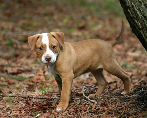 brown pitbull puppy pitbull dogs brown