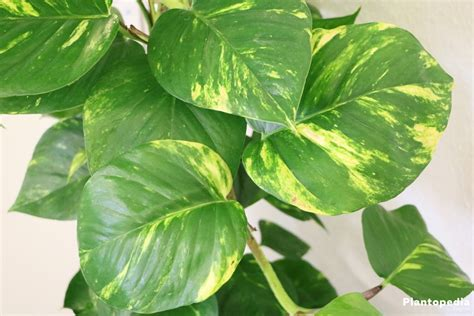 philodendron houseplant types how to grow care and plant plantopedia