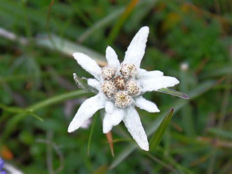 fiore stella alpina stella alpina leontopodium alpinum non ce ne sono