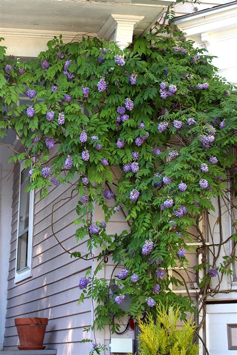 american wisteria wild seed project