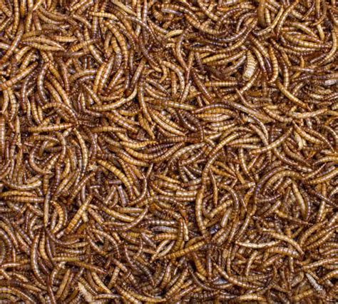 dried mealworms for birds at well fed birds in the uk