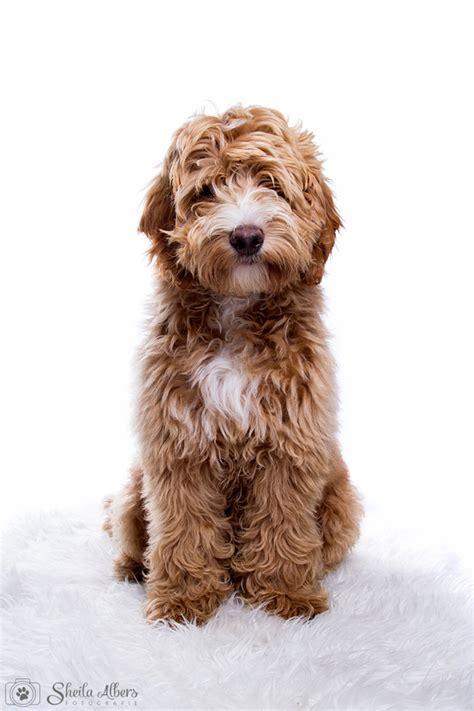 uk doodle club forum labradoodle hondenforum