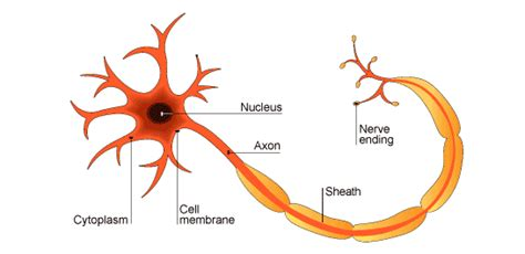 nerve cell diagram nerve cell diagram labeled clipart best