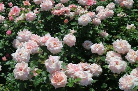 harum  indahnya mawar  korea oleh syasyamam