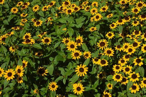 Charmant Plante D Interieur Plein Soleil #5: sanvitalia.jpg