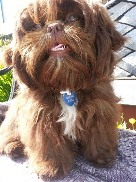 chocolate imperial shih tzu chocolate orange imperial shih tzu lancing west sussex pets4homes