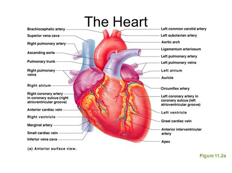 the heart is a the cardiovascular system ppt download