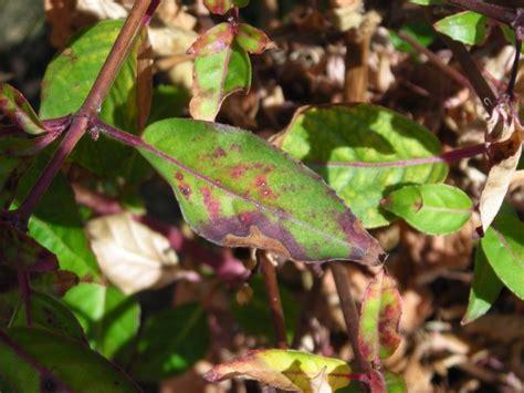 names of bacterial diseases in plants list of fuchsia diseases