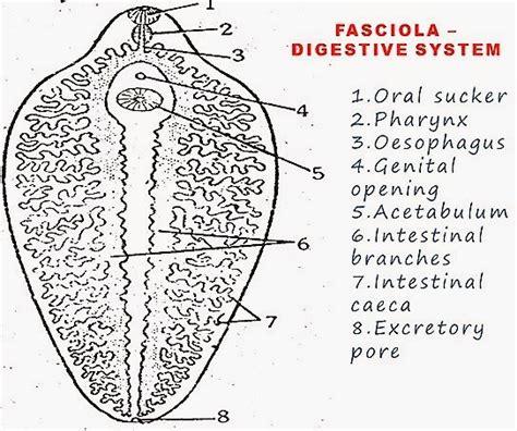labelled diagram of fasciola hepatica fasciola hepatica sheep liver fluke morphology and