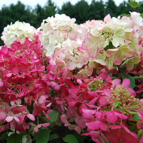 success with hydrangeas a gardener s guide books hydrangea paniculata rouge white flower farm