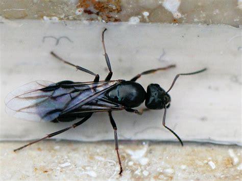 Kleine Fliegen In Der Küche An Der Decke by Komische Fliegen In Der N 228 He Ameisenl 246 Chern Biologie