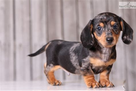 dachshund puppies ohio dachshund mini puppy for sale near columbus ohio 4b913902 17a1