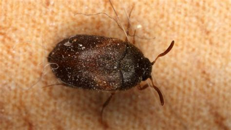 a picture of bed bugs bed bug imposters how to identify bed bugs