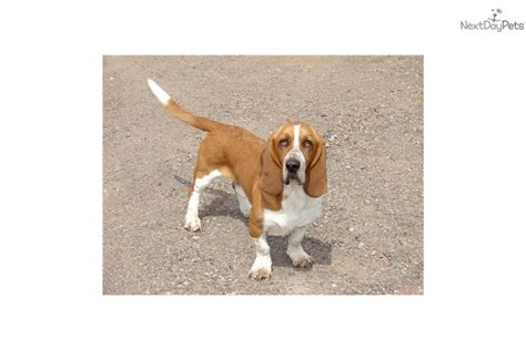 basset hound puppies wi basset hound puppy for sale near northern wi wisconsin 9e0fd242 ea71