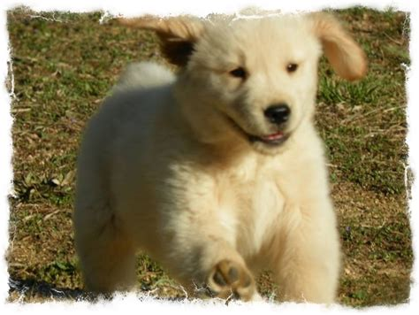 golden retriever puppies virginia golden retriever breeders richmond virginia dogs in our photo