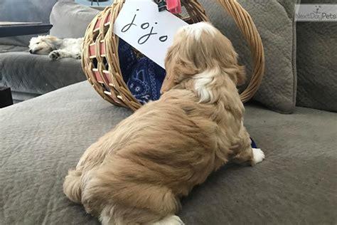 havanese rescue san antonio cavanese puppy for adoption near san antonio 99477250 00a2