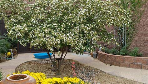 Small Patio Trees by Desert Gardening Small Trees
