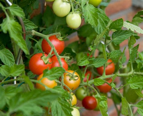 Tomato Plant How To Grow The Best Tomatoes Seed Nursery