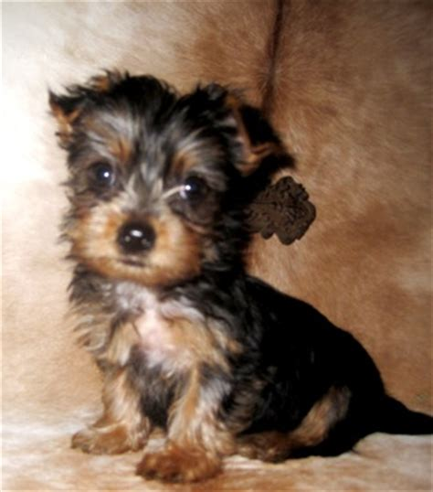 yorkie standard images of standard size yorkies yorkie breeder baby doll breeds picture