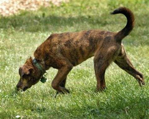 plott hound extreme dog breeds plott hound