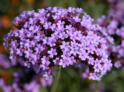 Lavender Flowers lavender flowers by pamelabydesign on deviantart