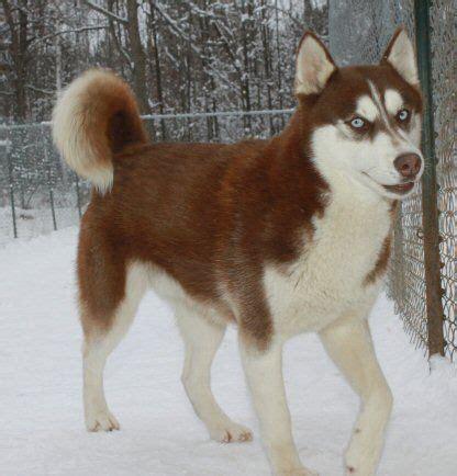 husky puppies mn best 25 mini siberian husky ideas on mini huskies siberian husky puppies